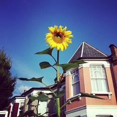 Giant Sunflower by Emma Corbett